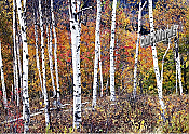 Birch Forest Peel and Stick Wall Mural