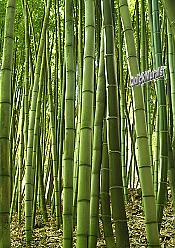 Bamboo Grove Peel & Stick Wall Mural